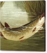 A Brown Trout Coming To The Gaff  Canvas Print