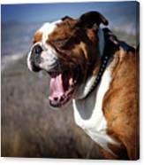A Bulldog's Mighty Yawn Canvas Print
