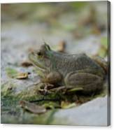 A Bullfrog At The Sunset Zoo Canvas Print