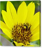A Bumble Hunkering Down Canvas Print