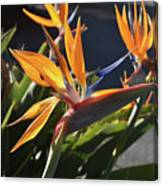 A Bunch Of Bird Of Paradise Flowers Bloomed  Canvas Print