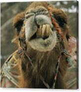 A Camel Displays Its Teeth Canvas Print