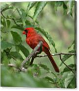 A Cardinal Day Canvas Print