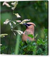 A Cedar Waxwing Facing Left Canvas Print