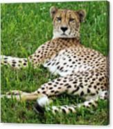 A Cheetah Resting On The Grass Canvas Print