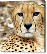 A Cheetah's Portrait Canvas Print
