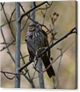 A Chipping Sparrow Canvas Print