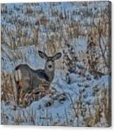 A Christmas Day Young Buck Canvas Print