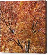 A Claret Ash Tree In Its Autumn Colors Canvas Print