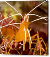 A Cleaner Shrimp Perches On An Exposed Canvas Print