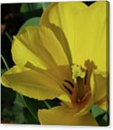 A Close Up Look At A Yellow Flowering Tulip Blossom Canvas Print