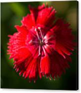 A Close Up Of A Dianthis Flower Canvas Print