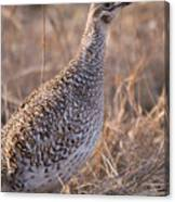 A Close-up Of A Sharptail Grouse Canvas Print