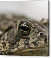 A Close-up Of A Toad Found In Dunbar Canvas Print