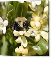 A Close View Of A Bumblebee Pollinating Canvas Print