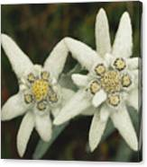 A Close View Of An Edelweiss Flower Canvas Print