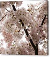 A Cloud Of Pastel Pink Cherry Blossoms Celebrating The Arrival Of Spring  Canvas Print