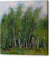A Cluster Of Birch Canvas Print
