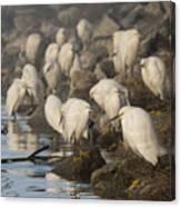 A Congregation Of Egrets Canvas Print