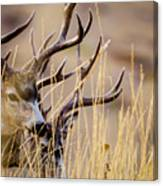 A Couple Of Bucks Canvas Print