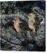 A Couple Of House Finch Canvas Print