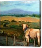 A Cow Up In Missouri Canvas Print