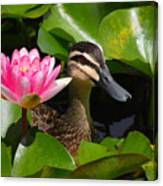 A Curious Duck And A Water Lily Canvas Print