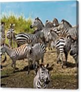 A Dazzle Of Zebras Canvas Print