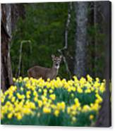 A Deer And Daffodils 4 Canvas Print