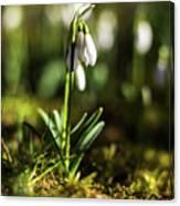 A Drop Of Spring Canvas Print