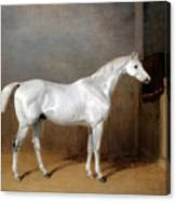 A Favourite Grey Horse Belonging To George Reed Standing In A Loose Box Canvas Print