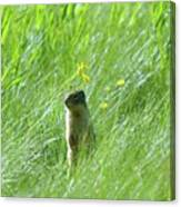 A Fernie Gopher  Canvas Print