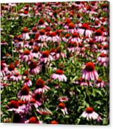 A Field Of Echinacea Canvas Print