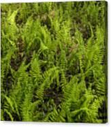 A Field Of Ferns Canvas Print
