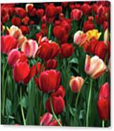 A Field Of Tulips Canvas Print