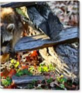 A Foraging Raccoon Canvas Print
