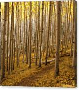 A Forest Of Aspens Canvas Print