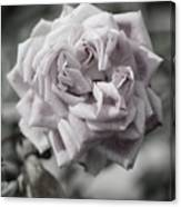 A French Manicure Almost Black and White Pale Pink Rose Photograph Canvas Print