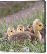A Gaggle Of Goslings Canvas Print