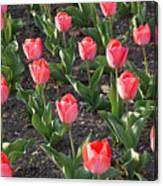 A Garden Full Of Tulips Canvas Print