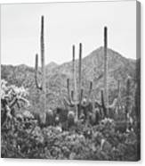 A Gathering Of Cacti Canvas Print