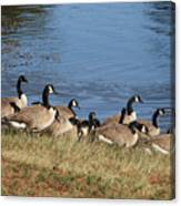 A Gathering Of Geese Canvas Print