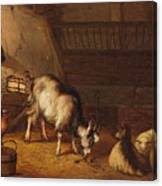 A Goat And Two Sheep In A Stable Canvas Print