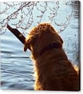 A Golden Retriever And His Stick Canvas Print