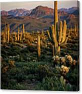 A Golden Sonoran Evening  Canvas Print