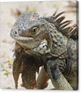 A Gray Iguana With Spines Along It's Back Canvas Print