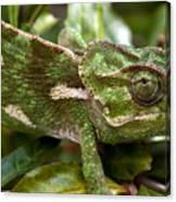 A Green Chamaeleonidae Canvas Print
