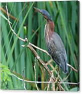 A Green Heron By The Canal Canvas Print
