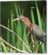 A Green Heron Stalks Prey Canvas Print