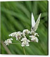 A Green-veined White (pieris Napi) Canvas Print